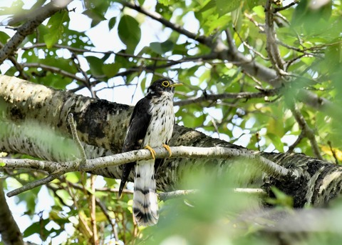 ジュウイチ幼鳥2932