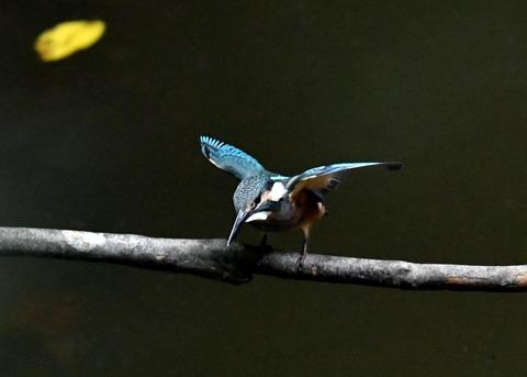 カワセミ若鳥4189