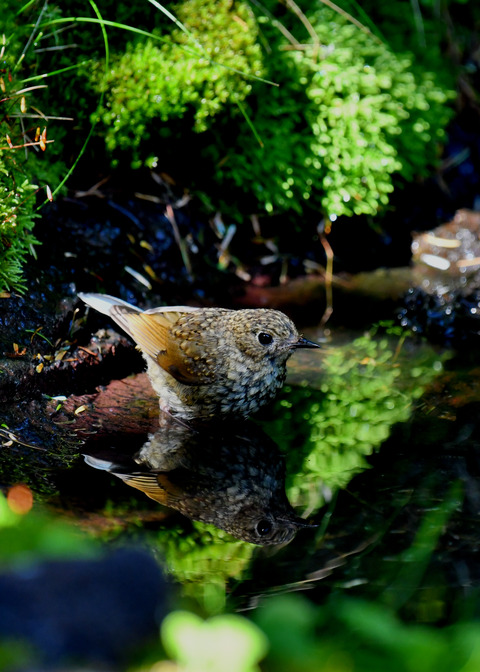 ルリビタキ幼鳥2054