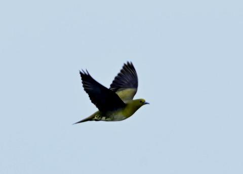 飛ぶ・アオバト♀3892