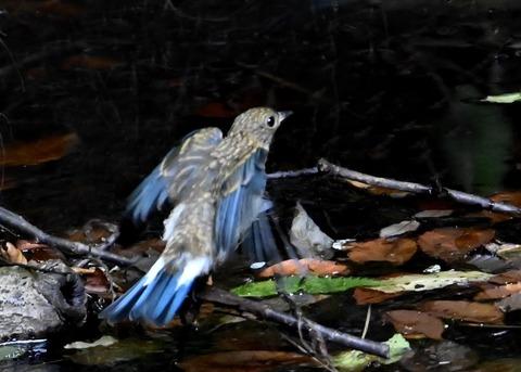 オオルリ幼鳥②6511