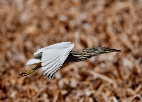 飛ぶ・アカガシラサギ9096