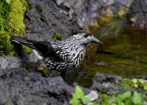 ホシガラス幼鳥3676