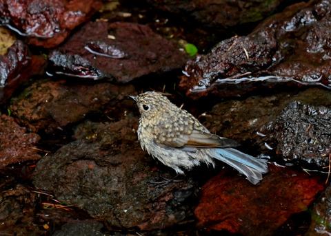 ルリビタキ幼鳥8231