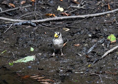 イカル幼鳥9507