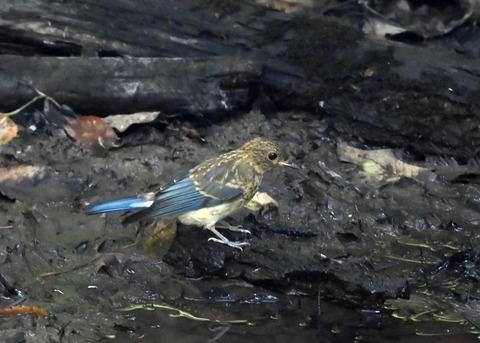 オオルリ♂幼鳥4320