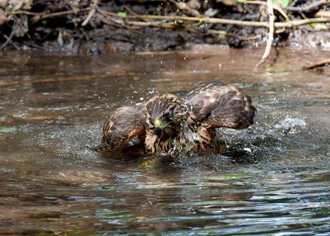 オオタカ幼鳥3939