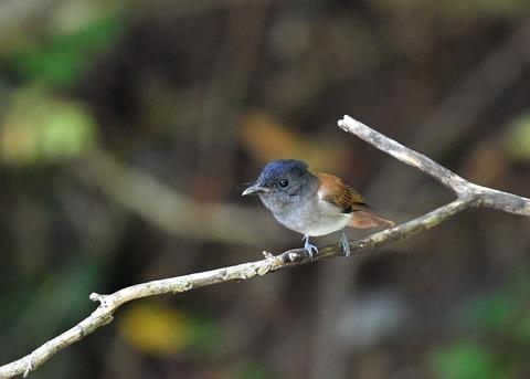 サンコウチョウ幼鳥5619