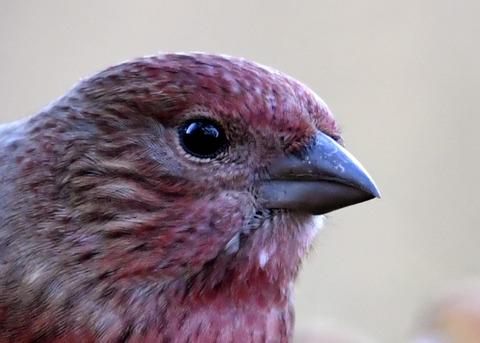 オオマシコ若鳥1531