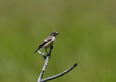ノビタキ幼鳥5213