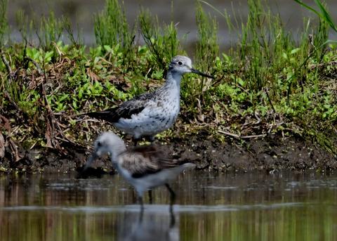 アオアシシギ幼鳥2781