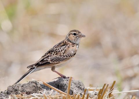 ヒバリ若鳥3753