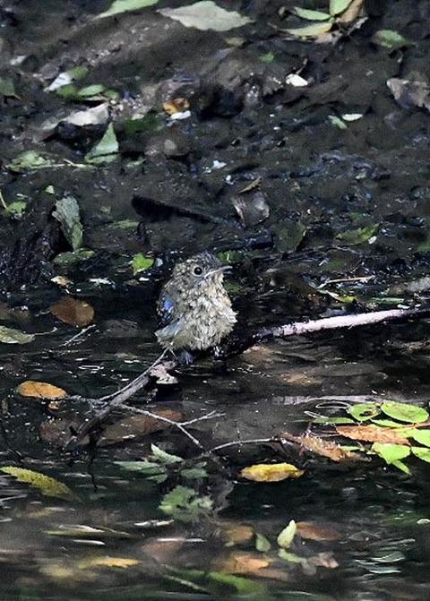 オオルリ幼鳥♂8113