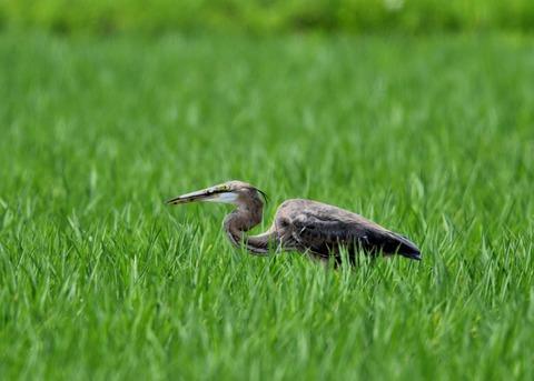 ムラサキサギ若鳥2271