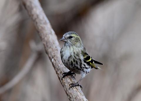 マヒワ若鳥3287