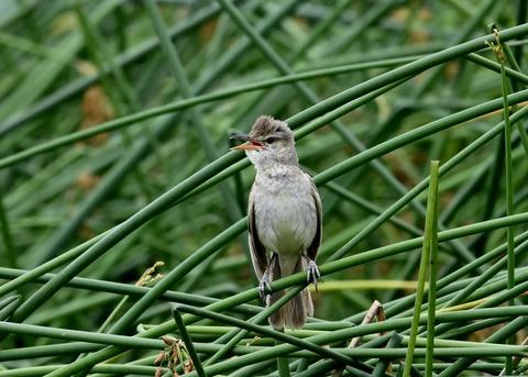 オオヨシキリ幼鳥8593