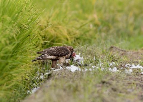 オオタカ若鳥3074