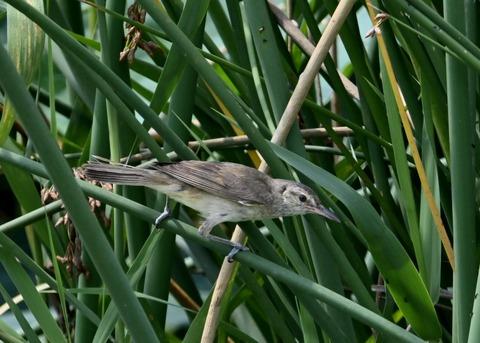 オオヨシキリ幼鳥8427