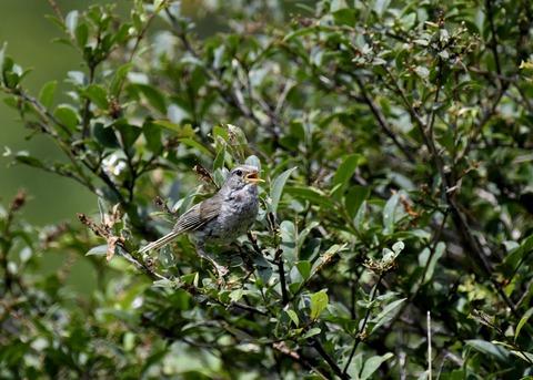 ウグイス幼鳥2463