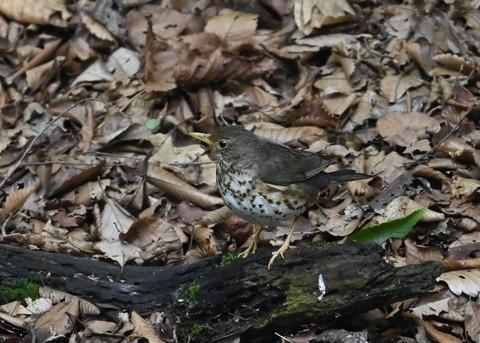クロツグミ幼鳥6198