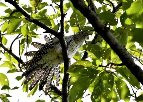 ツツドリ幼鳥5681