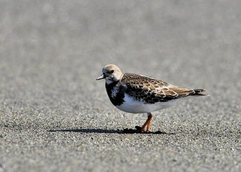 キョウジョシギ幼鳥5851