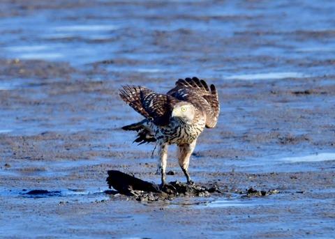 オオタカ若鳥0760