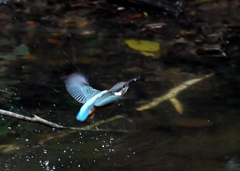 カワセミ若鳥4353