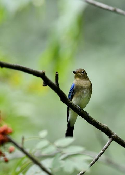 オオルリ♂若鳥0544