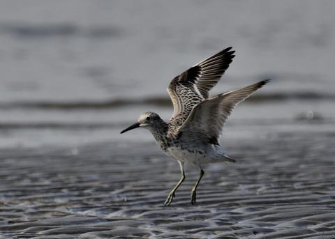 飛ぶ・オバシギ幼鳥4143