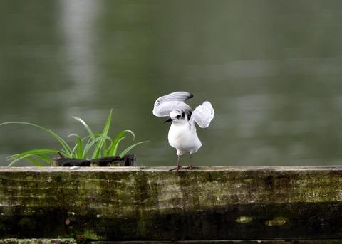 クロハラアジサシ幼鳥3038