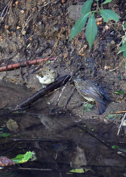 キビタキ・オオルリ幼鳥3814