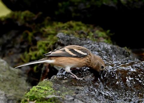 ベニマシコ♀冬羽1801