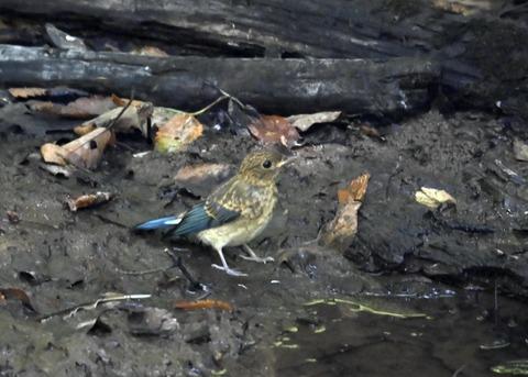 オオルリ♂幼鳥4307