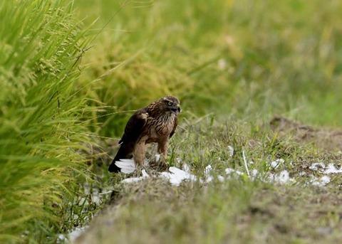 オオタカ若鳥3185