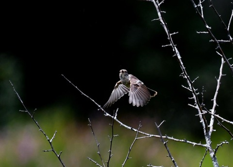 飛ぶ・ノビタキ幼鳥1098
