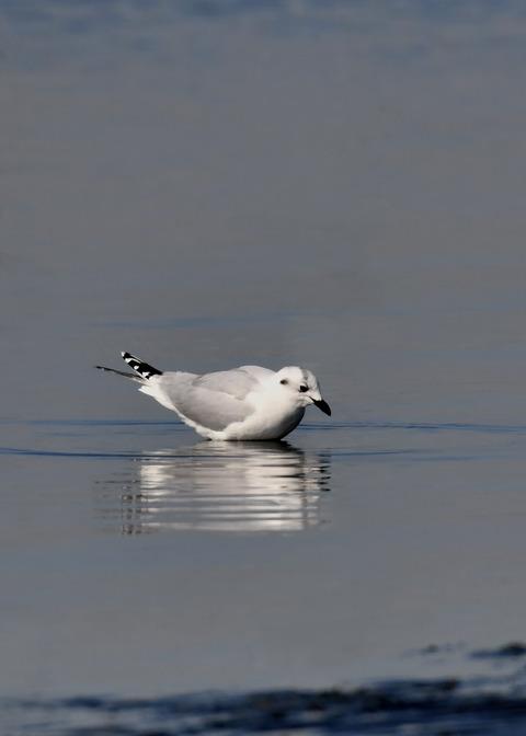 ズグロカモメ冬羽5020