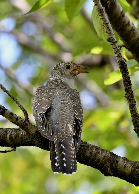 ツツドリ幼鳥6373
