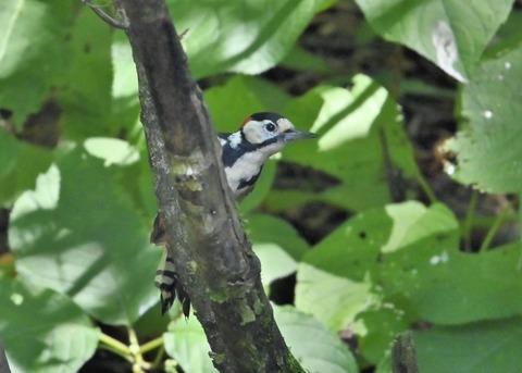 アカゲラ♂幼鳥3002