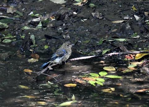 オオルリ幼鳥♂8085