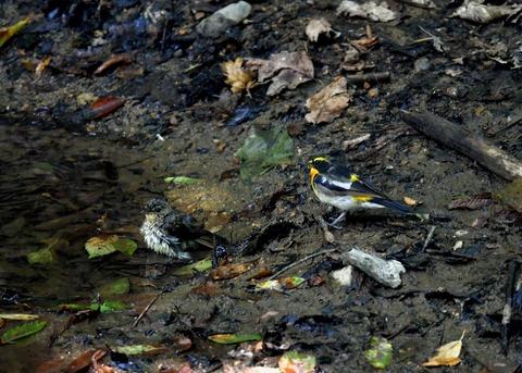 キビタキ♂と幼鳥3450