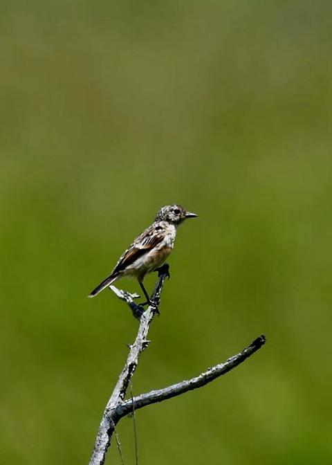 ノビタキ幼鳥5192