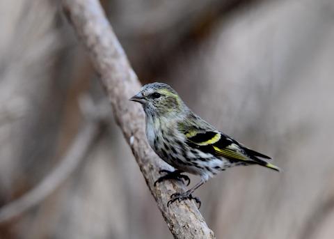マヒワ若鳥3284