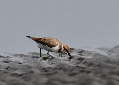 シロチドリ若鳥8358