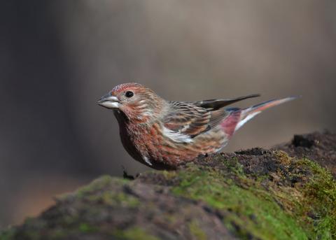 オオマシコ若鳥0732