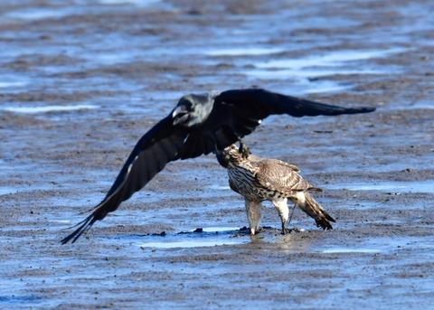 オオタカ若鳥0814