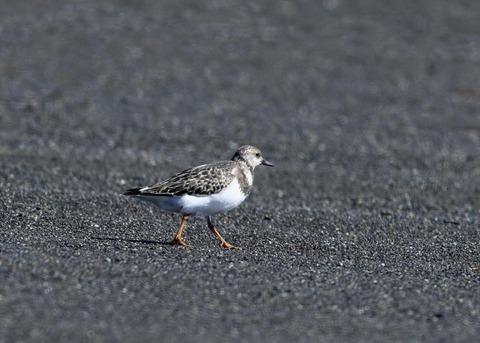 キョウジョシギ幼鳥6040