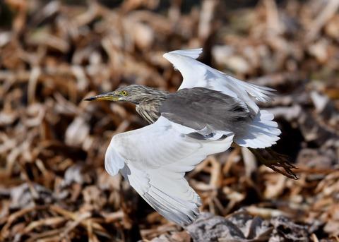 飛ぶ・アカガシラサギ9065