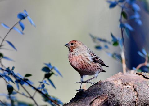 オオマシコ若鳥8934