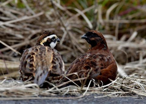 コリンウズラ♂&若鳥5326